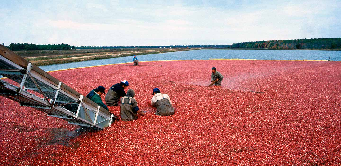 automated conveyor system in a cranberry field